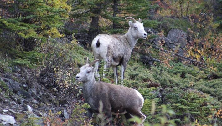 Stone Sheep, animal #4