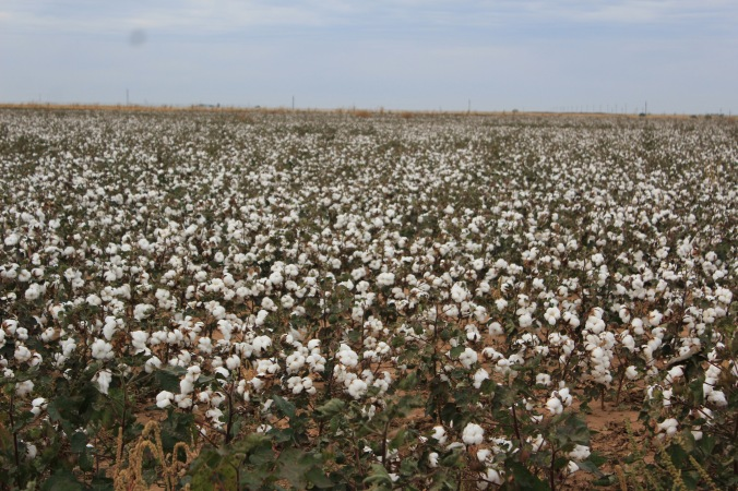 The cotton fields looked a little like snow covered ground