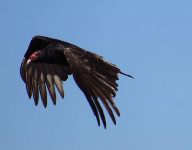 turkey-vulture-wings-down