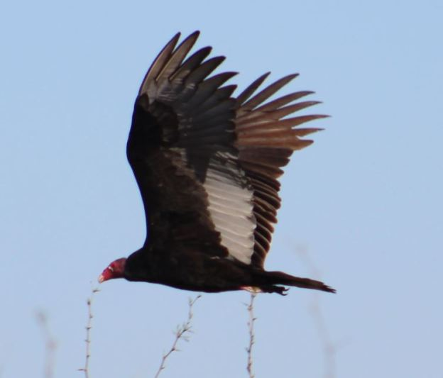 turkey-vultures-5